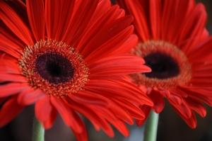 תמונות של פרחים - פרחים אדומים